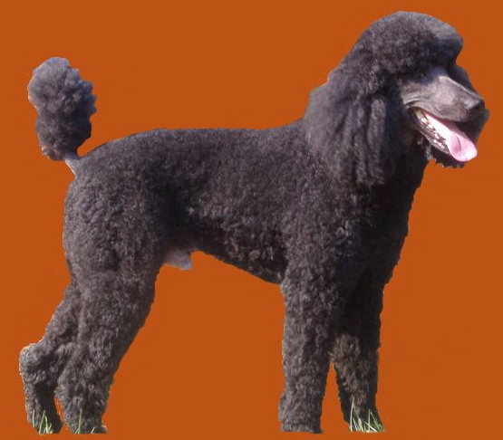 Indiana Standard Poodle Dog Breeder Central IN Silver Black